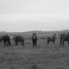 domestic herd of horses by Ashley Boland