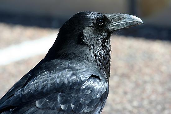 Rio Puerco Raven by Chris Clarke