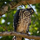 Juvenile Peregrine Falcon or Red Shouldered Hawk? by babsbini