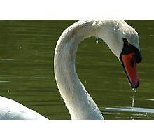 Mute Swan Photographic Print