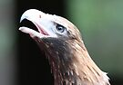 wedge tailed eagle by Steve Scully