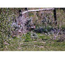 Pheasant Season Photographic Print