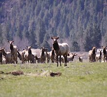 Herd of Elk by NicholeHyde