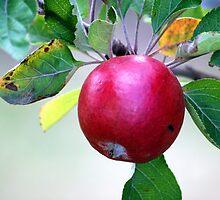 Cider Apple by Kotchka Images