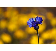 Blue Bachelor Button On Gold Photographic Print