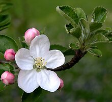 Apple Blossom by mnkreations