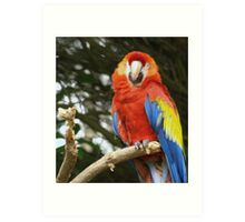 Red Chested Macaw Art Print