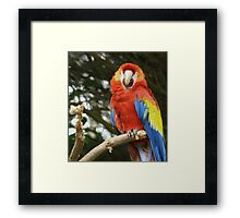 Red Chested Macaw Framed Print