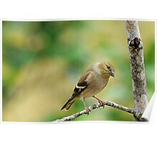 Goldfinch wintering in Louisiana Poster