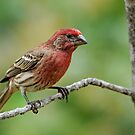 Male House Finch  by Bonnie T.  Barry