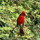 Red Cardinal by Teresa Zieba