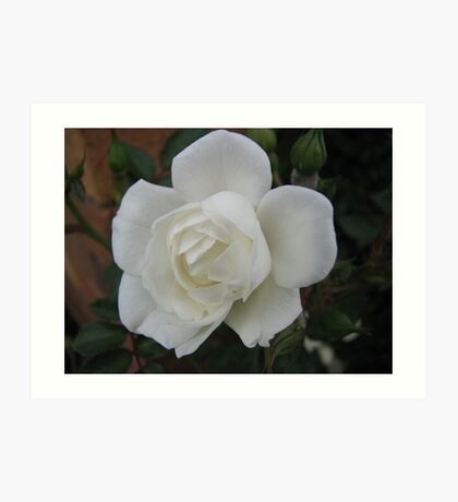 White rose on dark background Art Print