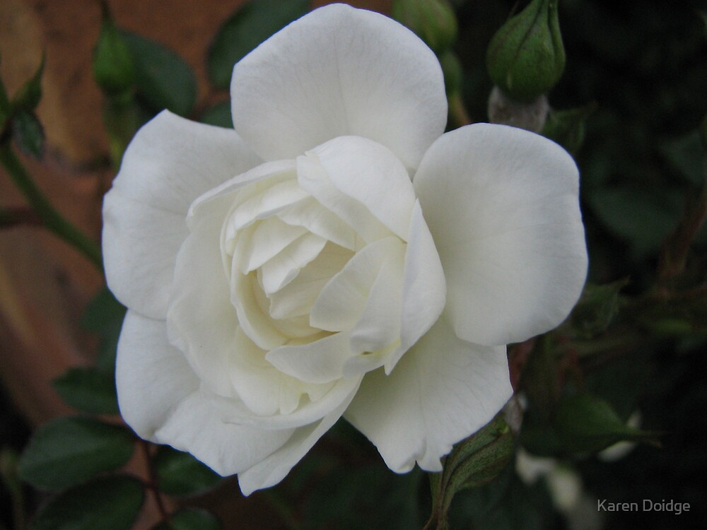 White rose on dark background by Karen Doidge