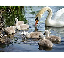 Cygnets  01 Photographic Print