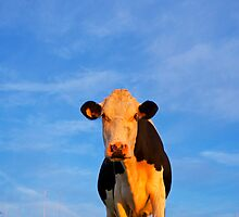 Cow and Blue Sky by Rick Bowden