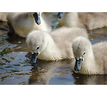 Cygnets 02 Photographic Print