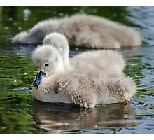Cygnets 04 Photographic Print