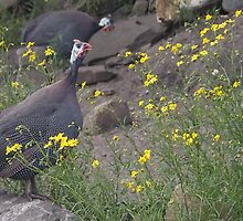 Guinea fowl love song  by steppeland