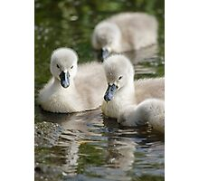 Cygnets 05 Photographic Print