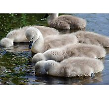Cygnets 06 Photographic Print