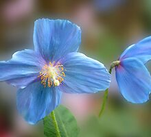 Blue Poppies by cclaude