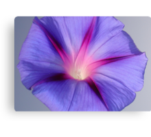 Close Up of A Morning Glory Purple and Pink Flower Canvas Print