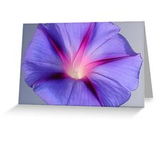 Close Up of A Morning Glory Purple and Pink Flower Greeting Card
