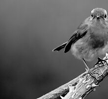 English Robin B/W by jdmphotography