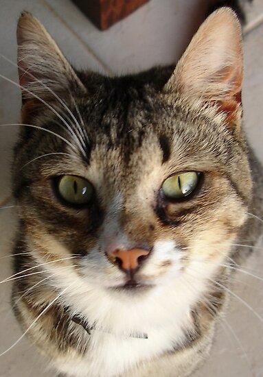 Tabby Cat Kitten Giving Eye Contact by taiche