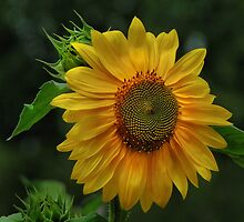 Sunflower kisses by mountain4pam