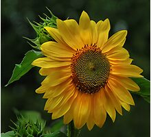 Sunflower kisses Photographic Print