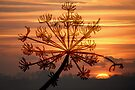 Hogweed Winter Sunrise #2 by Jo Nijenhuis