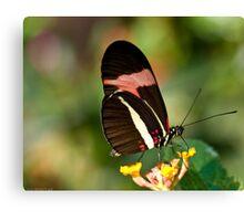 brazilian butterfly Canvas Print