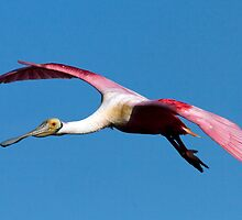 Gliding in PInk by Phillip  Simmons