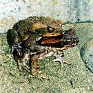 Frogs Humping by Dan Sweeney