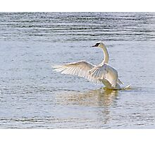 Swan Flapping Wings on Water Photographic Print