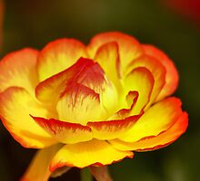 Petals Opening by harborhouse55