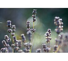 Lavendar Photographic Print