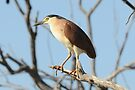 Rufous Night Heron by Alwyn Simple