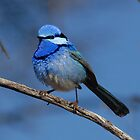 Splendid Blue Wren taken Yowah in Western Qld. by Alwyn Simple