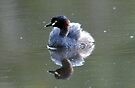Australian Little Grebe by Alwyn Simple