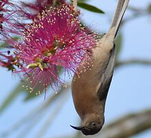 Brown Honeyeater taken Mt Ossa - Mackay. by Alwyn Simple