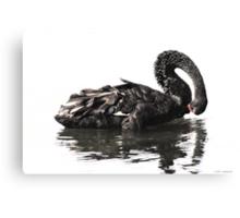 Black Swan-7349  Canvas Print
