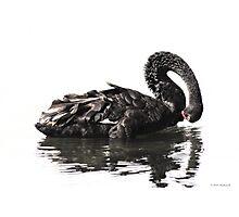 Black Swan-7349  Photographic Print