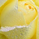 Rose with pearls by Arie Koene