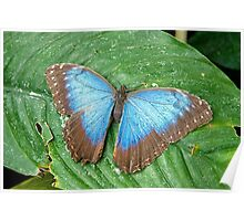 Blue Morpho with open wings Poster