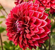 Deep Red Dahlia by Carolyn Eaton