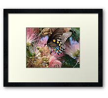 Pipevine Swallowtail Butterfly in Mimosa's Silky Blossoms Framed Print