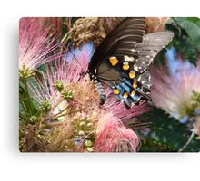 Pipevine Swallowtail Butterfly in Mimosa's Silky Blossoms Canvas Print