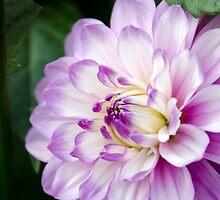 Soft Purple and White Dahlia by Carolyn Eaton